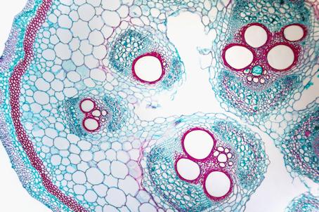 Cellules au microscope